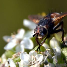 Zwischenring Makro: Fliege im Portrait