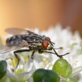 Zwischenring Makro: Fliege auf einer Blüte
