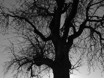 Kahler Baum in der Wintersonne