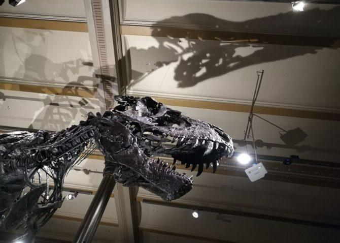 Kopf vom T-Rex Tristan, Naturkundemuseum Berlin