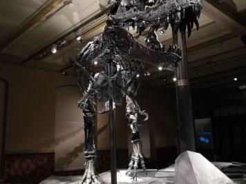 Tristan - Tyrannosaurus rex - Naturkundemuseum Berlin
