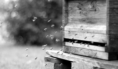 Ein Bienenvolk auf dem Weg nach Hause