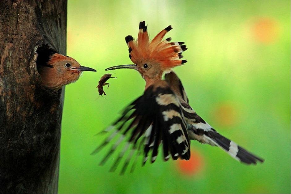 kolibri-bringt-futter
